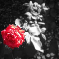 Red Rose by jaybird28