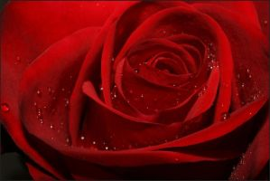 tears on the rose by la-niebla