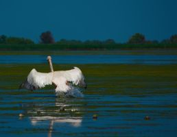 Pelican taking off by pvf