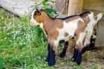 Stock 89 (Young Goat) by Einheit00