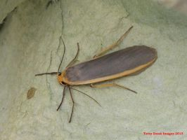 Common Footman by Terrydunk