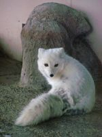 Artic Fox4 by effing-stock