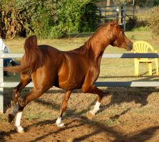 RA trot 3.4 view behind by Chunga-Stock