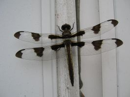 Dragonfly. - Stock by Cesitlie95