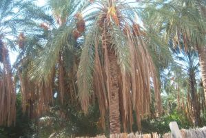 Date Palms by Alexandriaweb