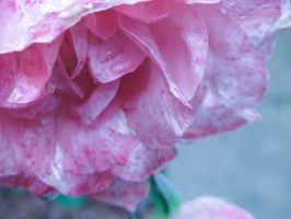 Raindrops on Roses by theodoraphotography