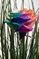 Happy Rose Rainbow in Garden by RAINBOWedROSES