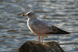 Perching Seagull by Silver-Dew-Drop