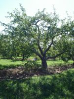 Apple Tree 2 by racehorse87-stock