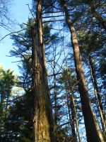 very tall pines by crazygardener