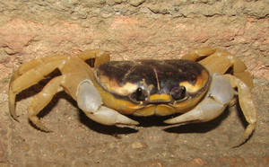 Crabby by Innuo