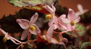 Ornamental-leaved Begonia by Redsterfish
