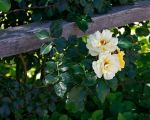 Rose along the fence line. by MDGun