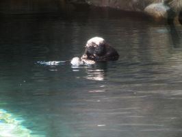 Sea Otter 2 -- Sept 2009 by pricecw-stock