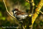 Male House Sparrow. by AdrianDunk