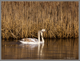 2 Cygnets Late Autumn by Mogrianne