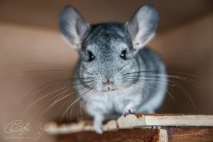 Chinchilla by CJacobssonFoto