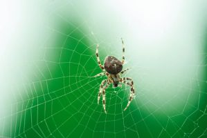 Spider by GMCollins