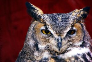 Great Horned Owl by Riphath