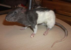 Small hooded rat taxidermy by EternalEmporium