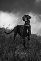 Bibi the Great Dane by Cabelz