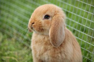Golden young rabbit by EE-photography