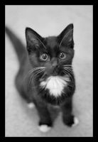 Zoe ... My Cat by philcopain