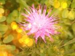 Bokeh Thistle by LifeThroughALens84
