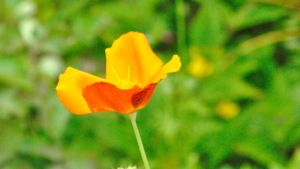 Californian Poppy? by Mez10000