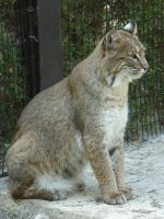 Wildlife Sanctuary Bobcat 2 by FantasyStock