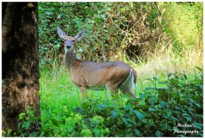 A Doe Posing For A Photo by TheMan268