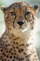 Portrait Of A Cheetah 36-029 by lomoboy