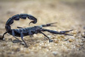 BLACK SCORPION by TheFantasyMaker2