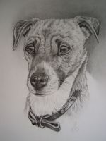 Lilly - Jack Russell by wild-winter