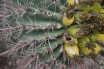 barrel cactus, ant food, and fruit in tucson by TJRiggs