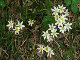 Little White Flowers by Sharondipity