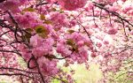 Pink Cherry Blossoms by magicglitter