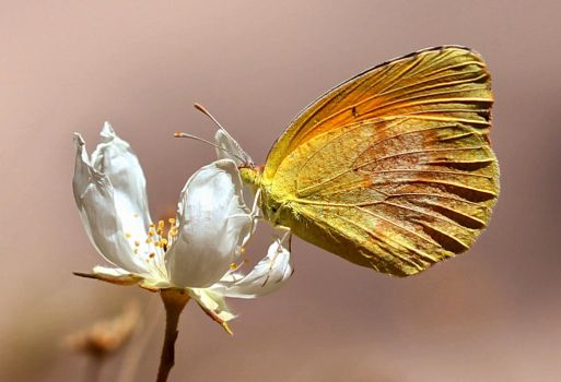 Orange Sulphur  by Monkeystyle3000