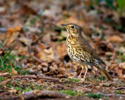 Song Thrush by noelholland