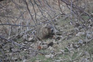 Groundhog by tomegatherion