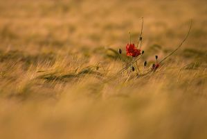 Lonely Poppy by Andyw01