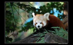 Red Panda by grugster