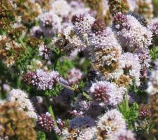 Mentha flower 4 by Kattvinge