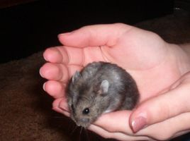 Nibbles the Hamster by Trustinangels