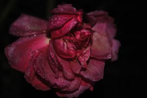 Every rose has its thorn by Izzy-Nightshade