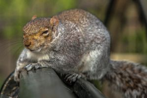 Evil squirrel is watching you by atmp