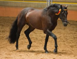 STOCK - 2014 Andalusian Nationals-121 by fillyrox