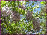 Hanging Wisteria by SparrowsFlame