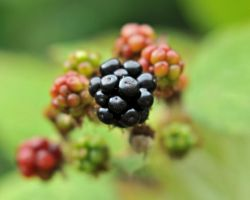 Portrait of a Blackberry by m-faccone