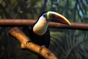 Toucan by Sagittor